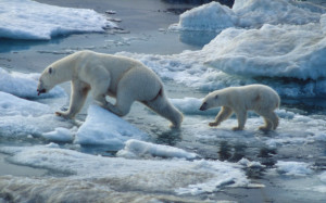 Rapidly shrinking arctic ice is affecting the size and reproduction of polar bears